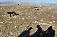 Aggressive Sheepdogs
