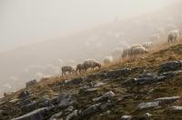 Pastva v mlze