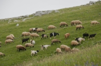 Grazing, southern Albania