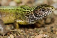 Lacerta viridis, Vranidoll