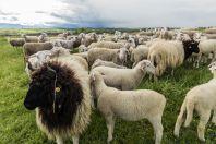 Ovce, Kosovo