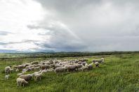 Local livestock, Kosovo