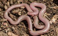 Xerotyphlops vermicularis, Orikum