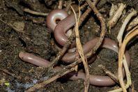 Xerotyphlops vermicularis, Qazim Pali