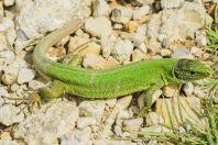 Lacerta viridis, Lukovë