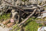 Pig, Qafe Perdolec
