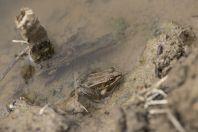 Pelophylax shqipericus, Nishaj