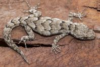 Mediodactylus kotschyi, Vlorë