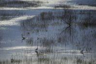 Herons, Skadar Lake