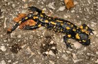 Salamandra salamandra, Visoko