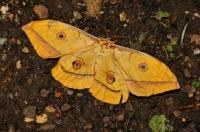 Antheraea yamamai, NP Kozara