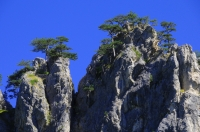 """Flag Pine"" in NP Sutjeska"