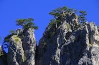 """""""Flag Pine"""" in NP Sutjeska"""