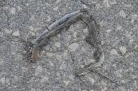 Pseudopus apodus, Dojran