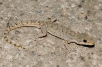 Mediodactylus kotschyi, Matka