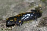Salamandra salamandra, kaňon Matka