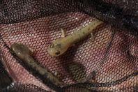 Salamandra salamandra, Dići