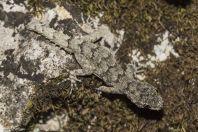Mediodactylus kotschyi, Zogaj