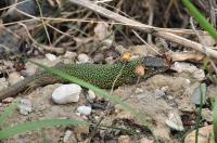 Lacerta viridis.