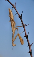 Mantis religiosa, Damyanica