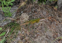 Lacerta viridis v Bansku