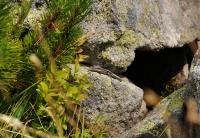 Zootoca vivipara v Pirinu