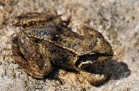 Rana temporaria, Pirin