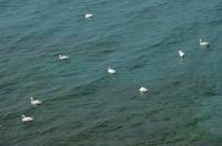 Swans, Sozopol