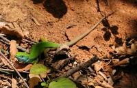 Lacerta viridis, průsmyk Malko Gradište