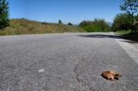 Rana dalmatina u Malka Gradište