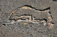 První nález - Dolichophis caspius, Sozopol