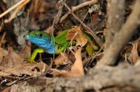 Lacerta viridis, Ropotamo