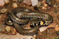 Natrix natrix, Brashlyan