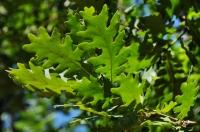Strandja oak-tree