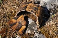 Remains of Testudo graeca, Petrova Niva