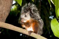 Variegated squirrel (Sciurus variegatoides), Alajuela