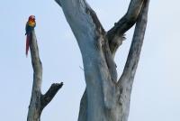 Scarlet Macaw (Ara macao), NP Carara