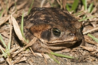 Cane toad (Rhinella marina), Tárcoles