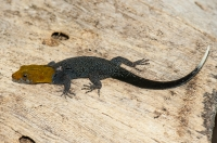 Yellow-headed gecko (Gonatodes albogularis), Tárcoles