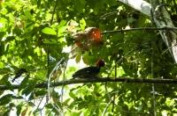 Campephilus guatemalensis, NP Carara