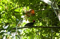 Pale-billed Woodpecker (Campephilus guatemalensis), NP Carara