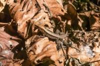Ameiva leptophrys, NP Carara