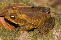 Incilius aucoinae, NP Carara