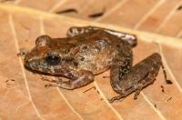Craugastor ranoides, NP Carara