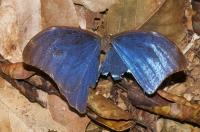 Morpho butterfly, NP Carara