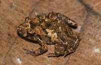 Craugastor stejnegerianus, NP Carara