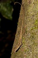 Anolis polylepis, NP Carara