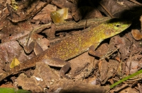 Anolis biporcatus, NP Carara