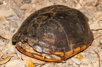 Scorpion mud turtle (Kinosternon scorpinoides), Tárcoles