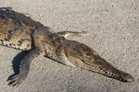 Dead Crocodylus acutus, Tárcoles